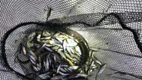 """Ομάδα ζωντανών νέων λούτσων ψαριών στο χειμερινό χιόνι διχτυού Ï""""Î¿Ï… ÏˆÎ±Ï απόθεμα βίντεο"""