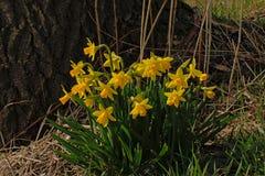 Ομάδα ηλιόλουστων φωτεινών κίτρινων daffodils στοκ εικόνες