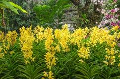 Ομάδα κίτρινης ορχιδέας στον κήπο Στοκ Εικόνα