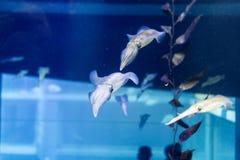 Ομάδα καλαμαριών στη βαθιά μπλε θάλασσα Στοκ Φωτογραφία
