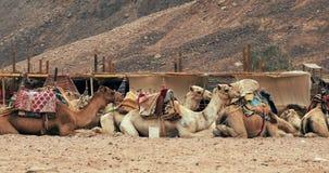 Ομάδα καμηλών στην έρημο Σαχάρας κοντά σε Douz απόθεμα βίντεο