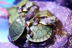 Ομάδα κόκκινου έχοντος νώτα στενού επάνω χελωνών ολισθαινόντων ρυθμιστών στοκ εικόνες