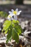 Ομάδα λουλουδιών άνοιξη nemorosa anemone, ξύλο anemones στην άνθιση Στοκ Εικόνες