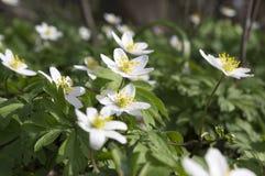 Ομάδα λουλουδιών άνοιξη nemorosa anemone, ξύλο anemones στην άνθιση Στοκ εικόνες με δικαίωμα ελεύθερης χρήσης