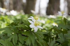 Ομάδα λουλουδιών άνοιξη nemorosa anemone, ξύλο anemones στην άνθιση Στοκ εικόνα με δικαίωμα ελεύθερης χρήσης