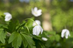 Ομάδα λουλουδιών άνοιξη nemorosa anemone, ξύλο anemones στην άνθιση Στοκ Φωτογραφίες