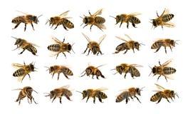 Ομάδα μέλισσας ή μέλισσας στο άσπρο υπόβαθρο, μέλισσες μελιού Στοκ Εικόνα
