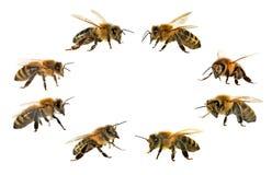 Ομάδα μέλισσας ή μέλισσας στο άσπρο υπόβαθρο, μέλισσες μελιού Στοκ εικόνα με δικαίωμα ελεύθερης χρήσης