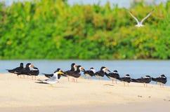 Ομάδα μαύρων πουλιών αποβουτυρωτών σε μια τράπεζα άμμου στα περιθώρια του α Στοκ φωτογραφία με δικαίωμα ελεύθερης χρήσης