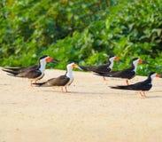 Ομάδα μαύρων πουλιών αποβουτυρωτών σε μια τράπεζα άμμου στα περιθώρια του α Στοκ Φωτογραφία