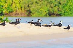 Ομάδα μαύρων πουλιών αποβουτυρωτών σε μια τράπεζα άμμου στα περιθώρια του α Στοκ Εικόνες