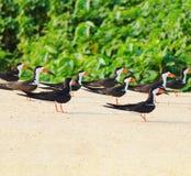 Ομάδα μαύρων πουλιών αποβουτυρωτών σε μια τράπεζα άμμου στα περιθώρια του α Στοκ Εικόνα