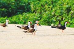 Ομάδα μαύρων πουλιών αποβουτυρωτών σε μια τράπεζα άμμου στα περιθώρια του α Στοκ Φωτογραφίες