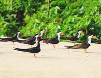 Ομάδα μαύρων πουλιών αποβουτυρωτών σε μια τράπεζα άμμου στα περιθώρια του α Στοκ εικόνες με δικαίωμα ελεύθερης χρήσης