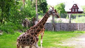 Ομάδα νέα αφρικανικά giraffes σε έναν περίπατο φιλμ μικρού μήκους