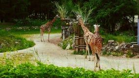 Ομάδα νέα αφρικανικά giraffes σε έναν περίπατο απόθεμα βίντεο
