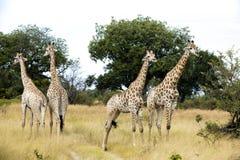 Ομάδα νέα giraffes Στοκ Φωτογραφίες