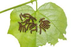 Ομάδα νέων καμπιών Lacewing Cethosia λεοπαρδάλεων cyane Στοκ Εικόνα