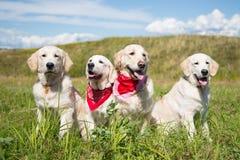 Ομάδα νέων χρυσών retriever σκυλιών που θέτουν στον τομέα στην ηλιόλουστη ημέρα το καλοκαίρι στοκ εικόνες