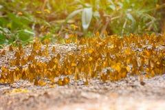 Ομάδα πεταλούδων που μαλάσσουν στο έδαφος και που πετούν στη φύση, Ταϊλάνδη Στοκ Φωτογραφίες