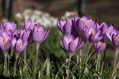 Ομάδα πορφυρών κρόκων που ανθίζουν στον κήπο με τα snowdrops στο υπόβαθρο Στοκ Εικόνες