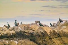 Ομάδα πουλιών στους βράχους, Μοντεβίδεο, Ουρουγουάη Στοκ φωτογραφίες με δικαίωμα ελεύθερης χρήσης