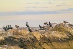 Ομάδα πουλιών στους βράχους, Μοντεβίδεο, Ουρουγουάη Στοκ Εικόνες