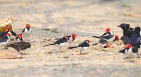 Ομάδα πουλιών Cavalaria επίσης γνωστή ως Cardeal do Pantanal Στοκ εικόνα με δικαίωμα ελεύθερης χρήσης