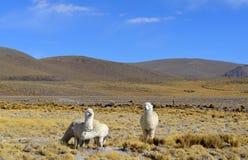Ομάδα προβατοκαμήλων whithe στα βουνά των Άνδεων, Περού στοκ φωτογραφίες