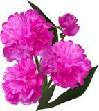 Ομάδα ροδανιλίνης peony λουλουδιών που απομονώνεται στο λευκό Στοκ Εικόνες