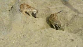 Ομάδα σκαψίματος suricatta Suricata meerkat στην άμμο και παιχνιδιού γύρω απόθεμα βίντεο