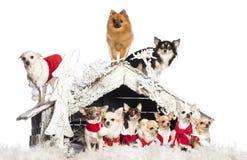 Ομάδα συνεδρίασης Chihuahuas και στάσης Στοκ εικόνα με δικαίωμα ελεύθερης χρήσης