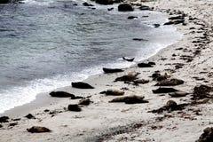 Ομάδα σφραγίδων στην αμμώδη παραλία Monterey Καλιφόρνια Στοκ φωτογραφία με δικαίωμα ελεύθερης χρήσης
