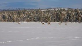 Ομάδα ταράνδων που τρέχει σε μια παγωμένη λίμνη απόθεμα βίντεο
