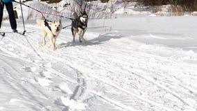 Ομάδα των σκυλιών ελκήθρων με τα mushers απόθεμα βίντεο