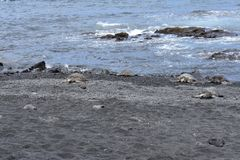 Ομάδα χελωνών θάλασσας σε μια μαύρη παραλία άμμου στοκ εικόνα