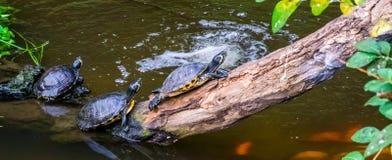 Ομάδα χελωνών που κάθεται στα δευτερεύοντα, δημοφιλή τροπικά κατοικίδια ζώα νερού από την Αμερική, ημι υδρόβια ερπετά στοκ εικόνες