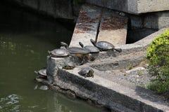 Ομάδα χελωνών Στοκ εικόνες με δικαίωμα ελεύθερης χρήσης