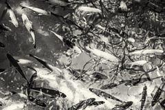 Ομάδα ψαριών στους καταρράκτες Krka, κροατικό εθνικό πάρκο, colorl Στοκ εικόνα με δικαίωμα ελεύθερης χρήσης