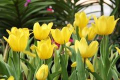 Ομάδα όμορφης κίτρινης τουλίπας ανθοδεσμών στοκ εικόνα με δικαίωμα ελεύθερης χρήσης