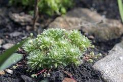 Ομάδα arachnoideum Sempervivum εγκαταστάσεων στον κήπο, ροζέτες με τους Ιστούς αραχνών Στοκ Εικόνες