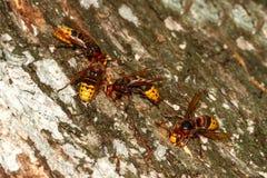 Ομάδα crabo Hornets Vespa στο φλοιό δέντρων Στοκ Εικόνες