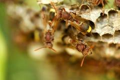Ομάδα hornets Στοκ εικόνα με δικαίωμα ελεύθερης χρήσης