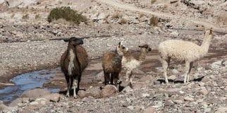 Ομάδα llamas προς την κοιλάδα Valle Arcoiris ουράνιων τόξων, στην έρημο Atacama στη Χιλή Στοκ Φωτογραφία