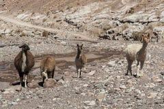 Ομάδα llamas προς την κοιλάδα Valle Arcoiris ουράνιων τόξων, στην έρημο Atacama στη Χιλή Στοκ εικόνα με δικαίωμα ελεύθερης χρήσης