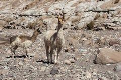 Ομάδα llamas προς την κοιλάδα Valle Arcoiris ουράνιων τόξων, στην έρημο Atacama στη Χιλή Στοκ φωτογραφίες με δικαίωμα ελεύθερης χρήσης