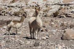 Ομάδα llamas προς την κοιλάδα Valle Arcoiris ουράνιων τόξων, στην έρημο Atacama στη Χιλή Στοκ φωτογραφία με δικαίωμα ελεύθερης χρήσης