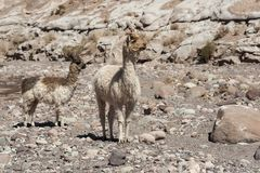 Ομάδα llamas προς την κοιλάδα Valle Arcoiris ουράνιων τόξων, στην έρημο Atacama στη Χιλή Στοκ Εικόνες