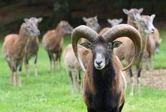 ομάδα moufflons στοκ φωτογραφία