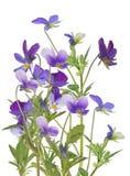 Ομάδα pansy απομονωμένων μπλε λουλουδιών Στοκ Φωτογραφία